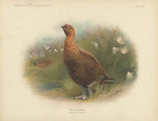 RedGrouse2
