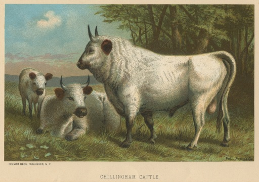 ChillinghamCattle