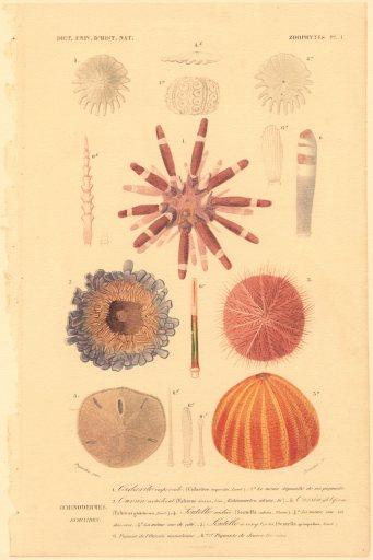 Echinodermes2