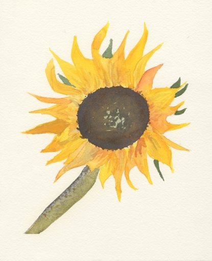 sunflower600